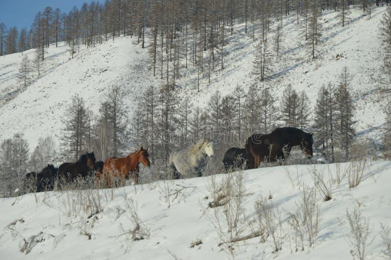 Pferdewintermorgen in den Bergen lizenzfreies stockbild