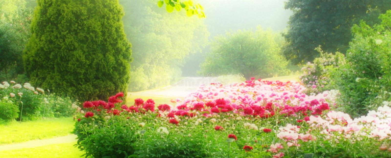 Pfingstrose-Garten stockfoto
