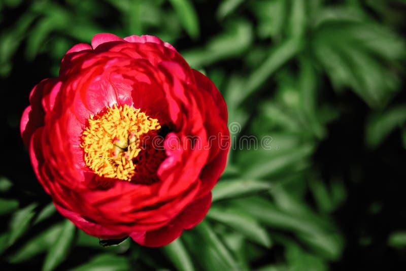 Pfingstrosenblume im Garten lizenzfreie stockfotos