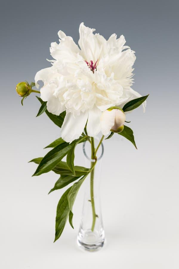 Pfingstrosenblume im Vase lizenzfreie stockbilder