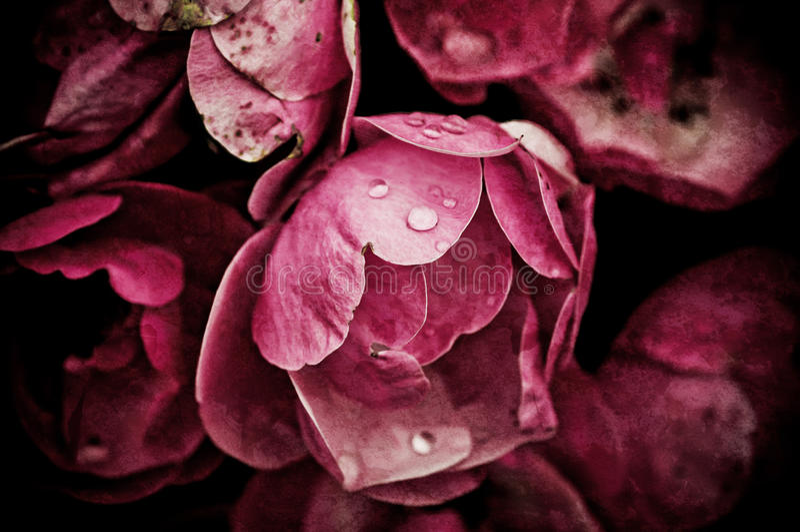 Pfingstrosenblumen lizenzfreie stockfotos