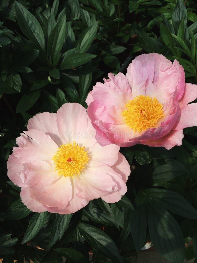 Pfingstrosenblumen in der Blüte lizenzfreie abbildung