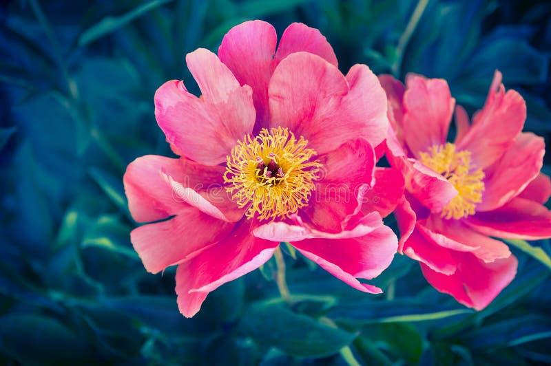Pfingstrosenblumen, nahes hohes im Freien stockfotos