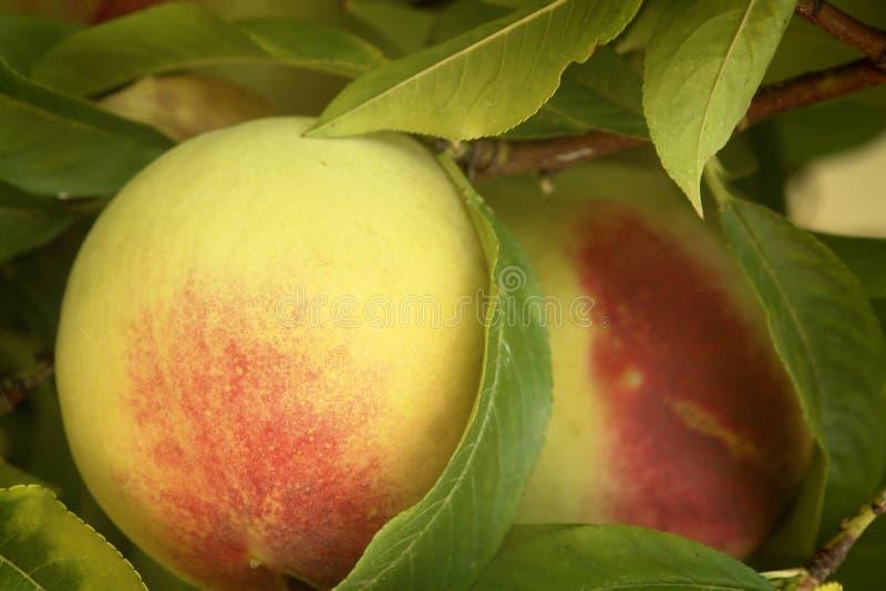Pfirsich auf Ast stockfotografie