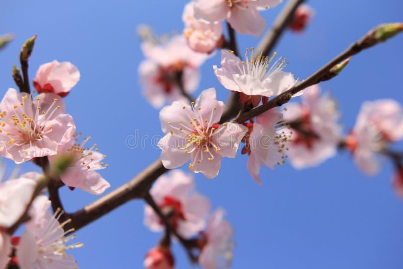 Pfirsich blüht Blume lizenzfreie stockbilder