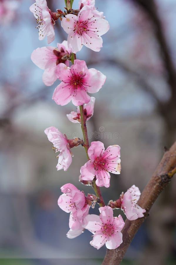 Pfirsich-Blüten-Nahaufnahme auf unscharfem Grün lizenzfreie stockfotos