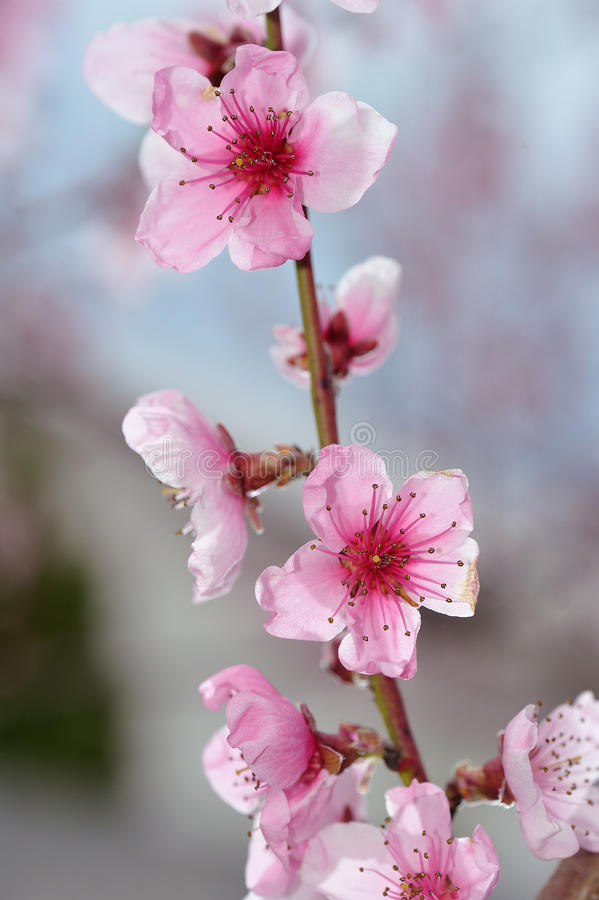 Pfirsich-Blüten-Nahaufnahme auf unscharfem Grün stockbilder