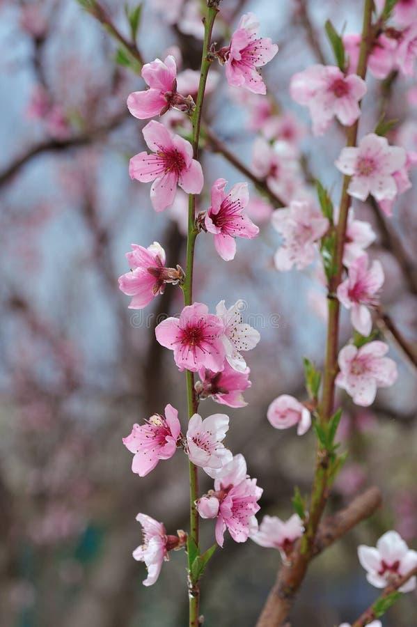 Pfirsich-Blüten-Nahaufnahme auf unscharfem Grün lizenzfreies stockbild