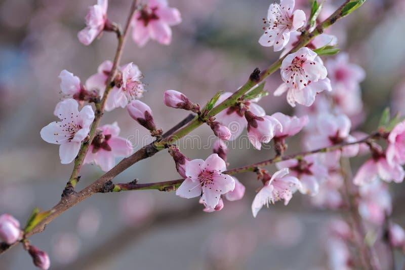 Pfirsich-Blüten-Nahaufnahme auf unscharfem Grün lizenzfreie stockbilder