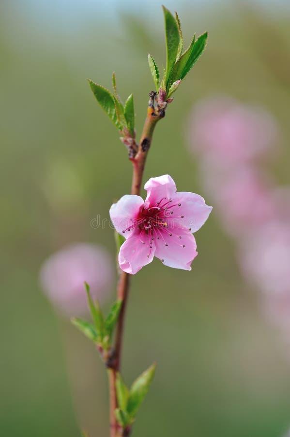 Pfirsich-Blüten-Nahaufnahme auf unscharfem Grün stockfotografie