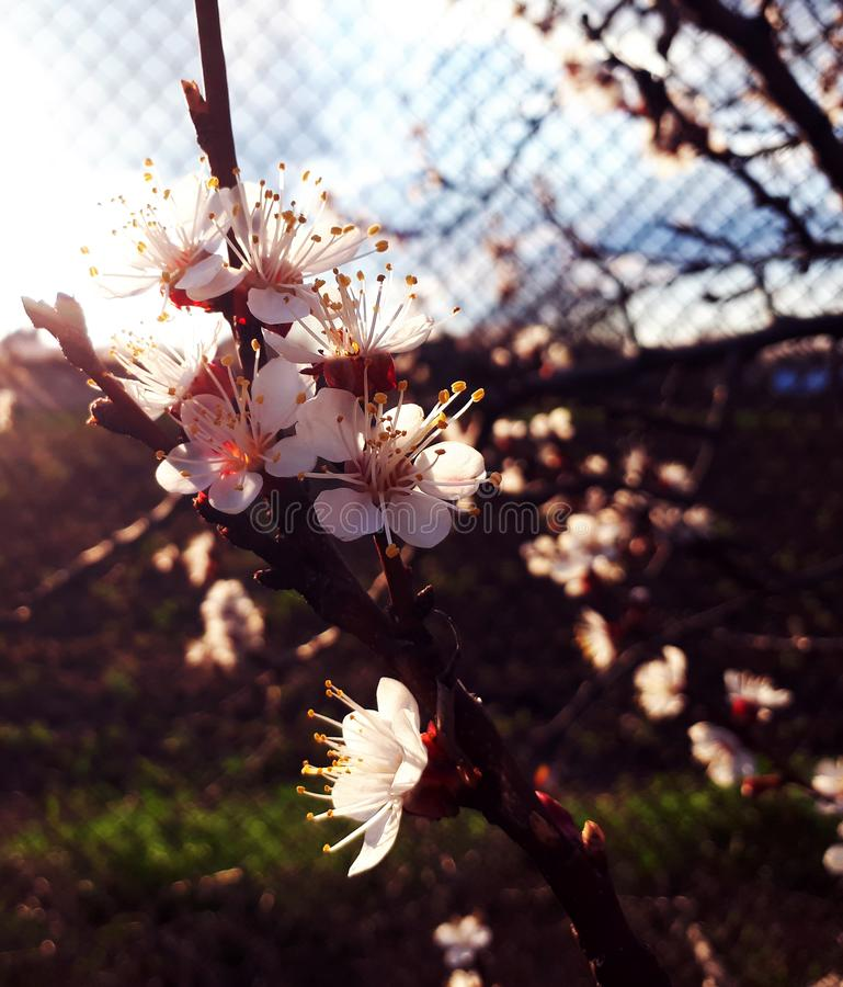 Pfirsich-Blumen stockbilder