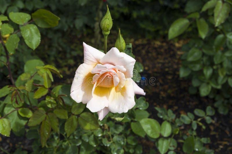 Pfirsich farbige Rose lizenzfreie stockbilder