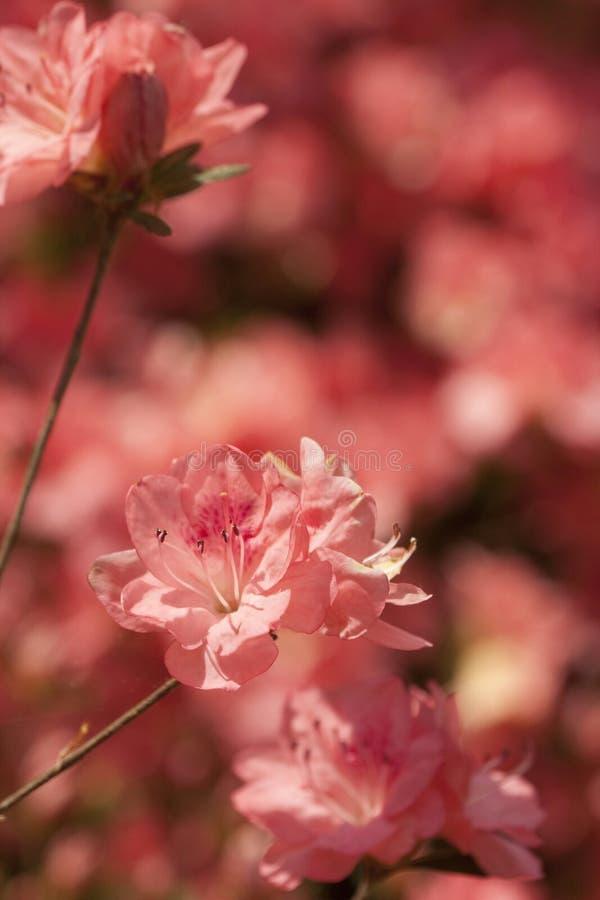 Pfirsich-Frühling Azalea Bloom Background lizenzfreie stockbilder