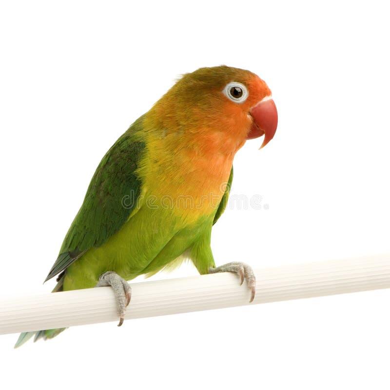 Pfirsich-gegenübergestellter Lovebird stockfotografie
