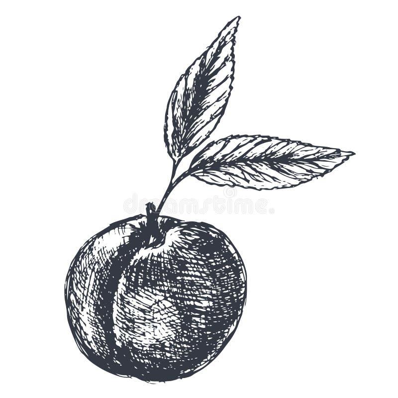 Pfirsich Hand gezeichnete Skizze in der Schmutzart vektor abbildung