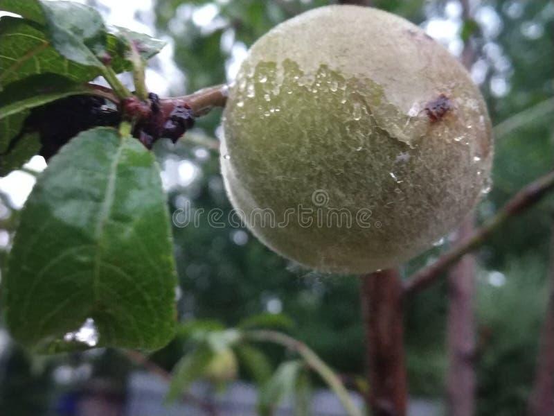 Pfirsich in Kaschmir stockbild