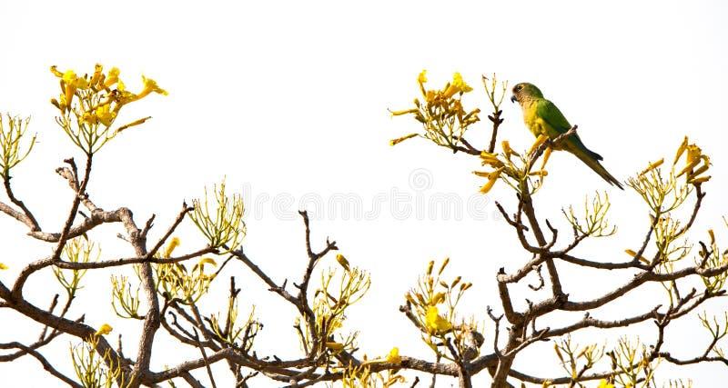Pfirsich-konfrontierter Sittich, der auf die Oberseite eines Baums der gelben Trompete sitzt lizenzfreies stockbild