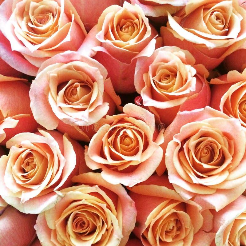 Pfirsich rosafarbenen Rosas Ecuadors erröten lizenzfreie stockfotografie