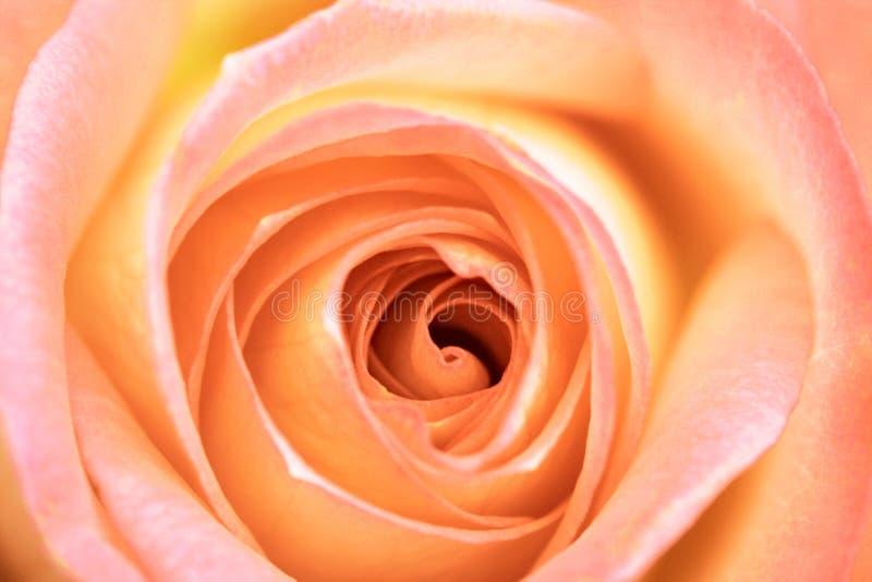 Pfirsich Rose stockbild