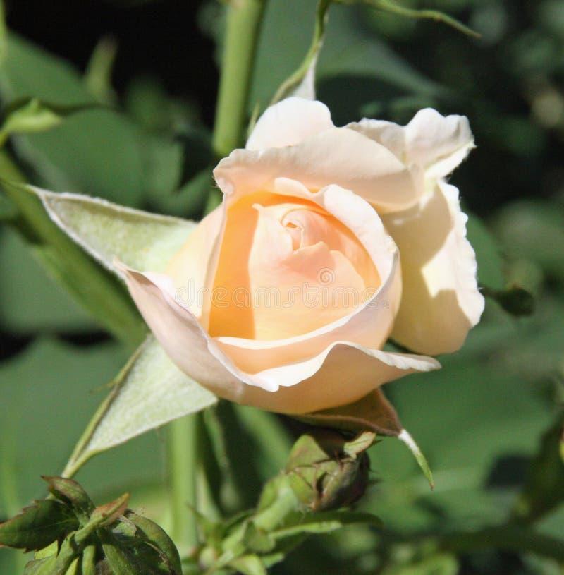 Pfirsich Rosebud stockfotografie