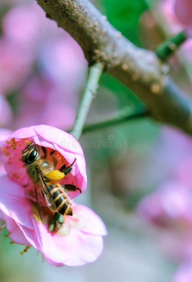 Pfirsich und Bienen lizenzfreie stockbilder