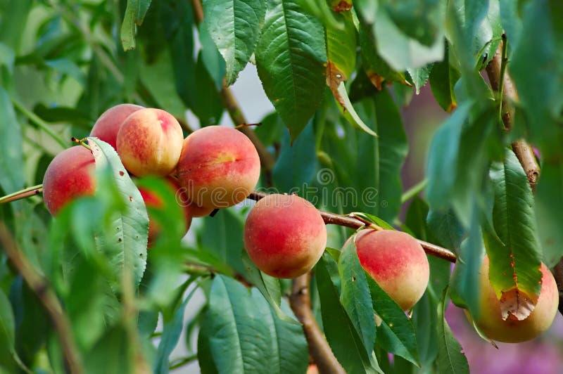 Pfirsichbaum stockfotos