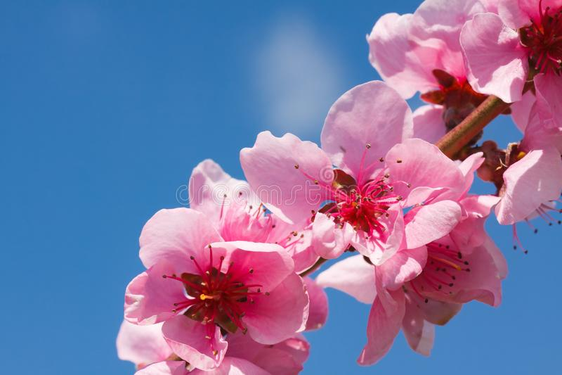 Pfirsichblüte über blauem Himmel lizenzfreies stockbild