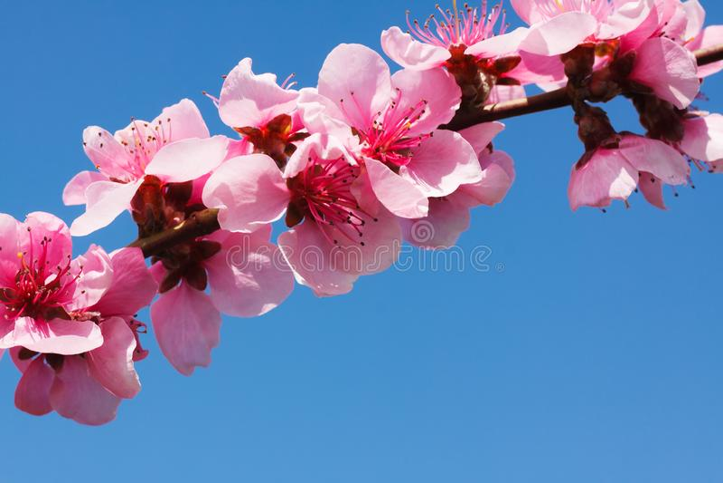 Pfirsichblüte über blauem Himmel stockbilder