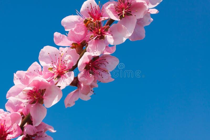 Pfirsichblüte über blauem Himmel lizenzfreies stockfoto
