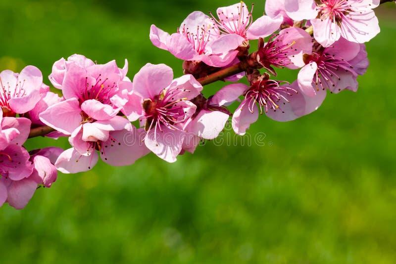 Pfirsichblüte über grünem Hintergrund lizenzfreies stockfoto