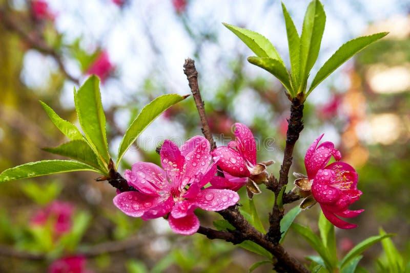 Pfirsichblüte lizenzfreies stockfoto