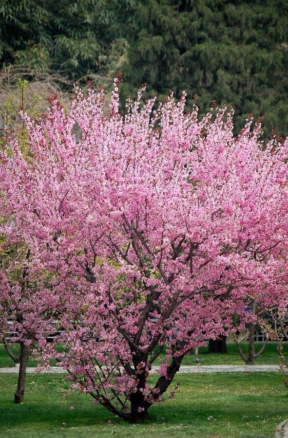 Pfirsichblüte stockbilder