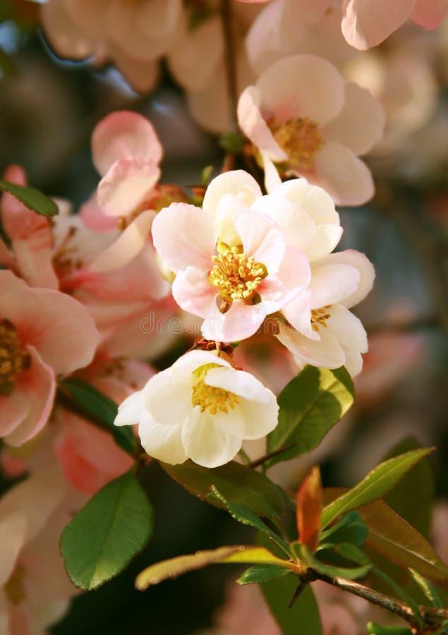 Pfirsichblüte lizenzfreie stockfotos