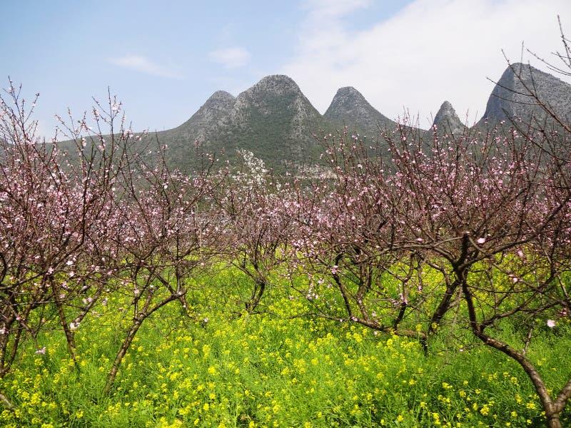 Pfirsichblüte mit Vergewaltigungsblumen lizenzfreie stockfotografie