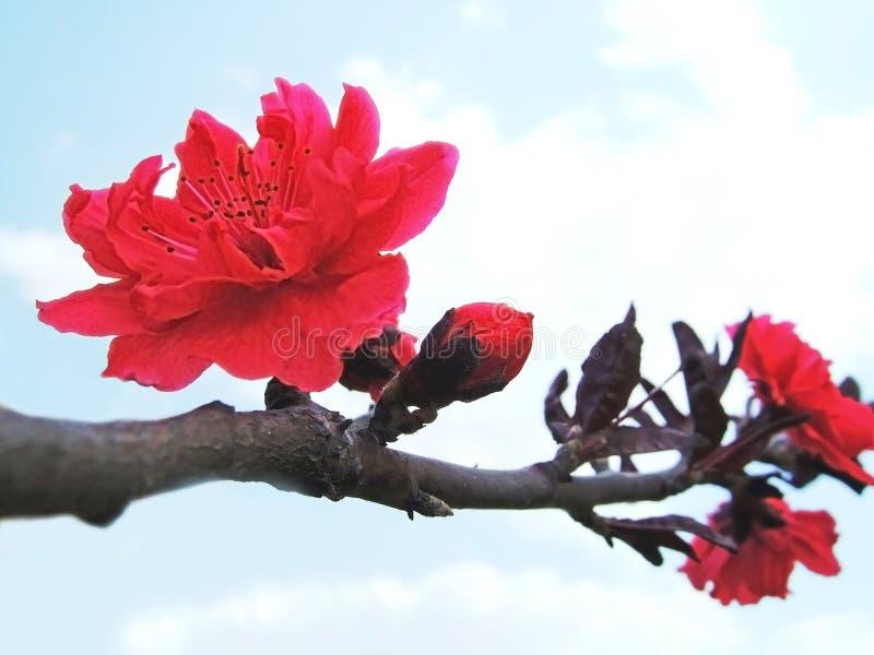 Pfirsichblüten lizenzfreies stockbild