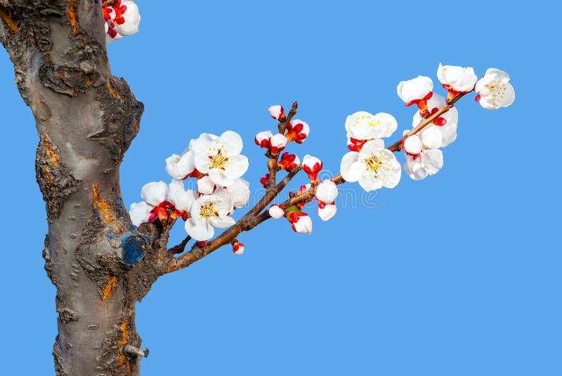 Pfirsichblüten auf dem cerulean Hintergrund lizenzfreie stockfotografie