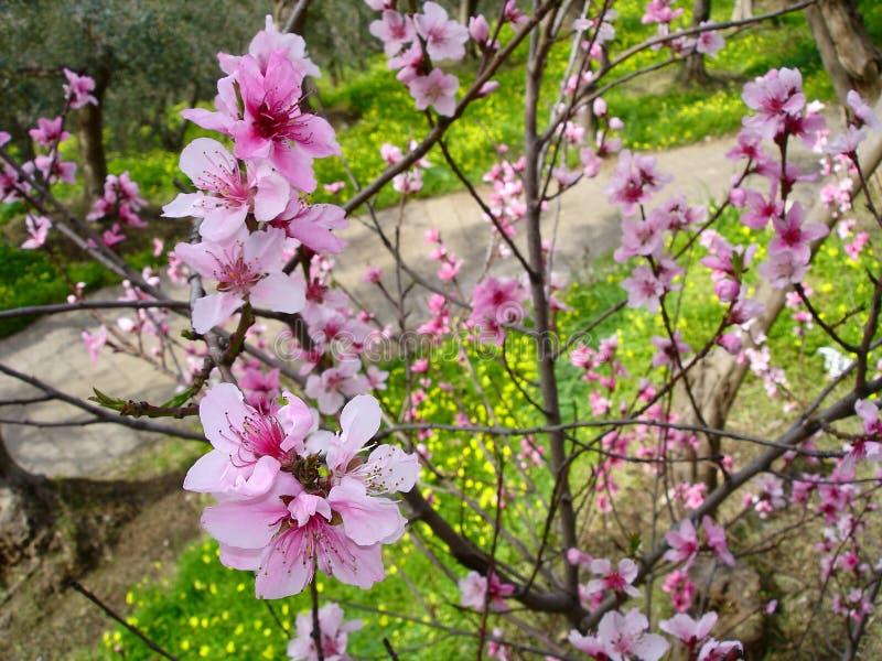 Pfirsichblumen auf einem Baum lizenzfreie stockbilder