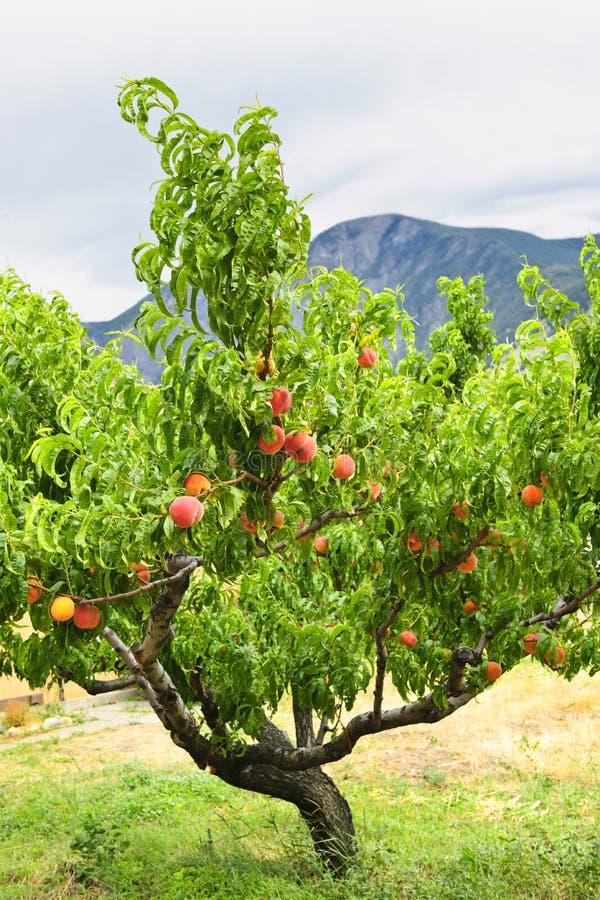 Pfirsiche auf Baum lizenzfreies stockfoto