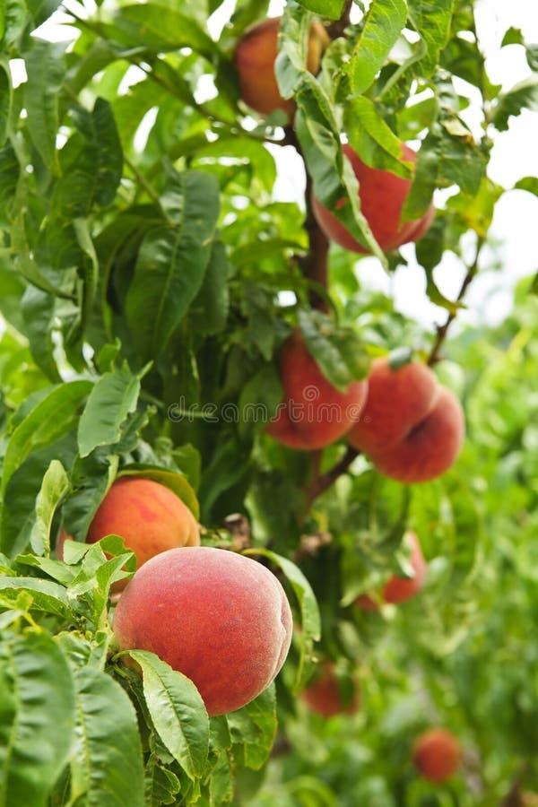 Pfirsiche auf Baum stockfotos