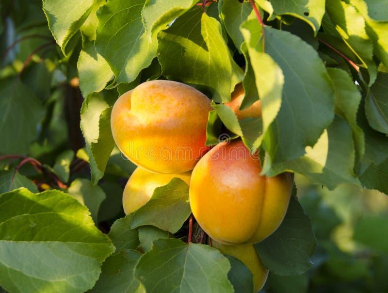 Pfirsiche auf dem Baum stockfotos