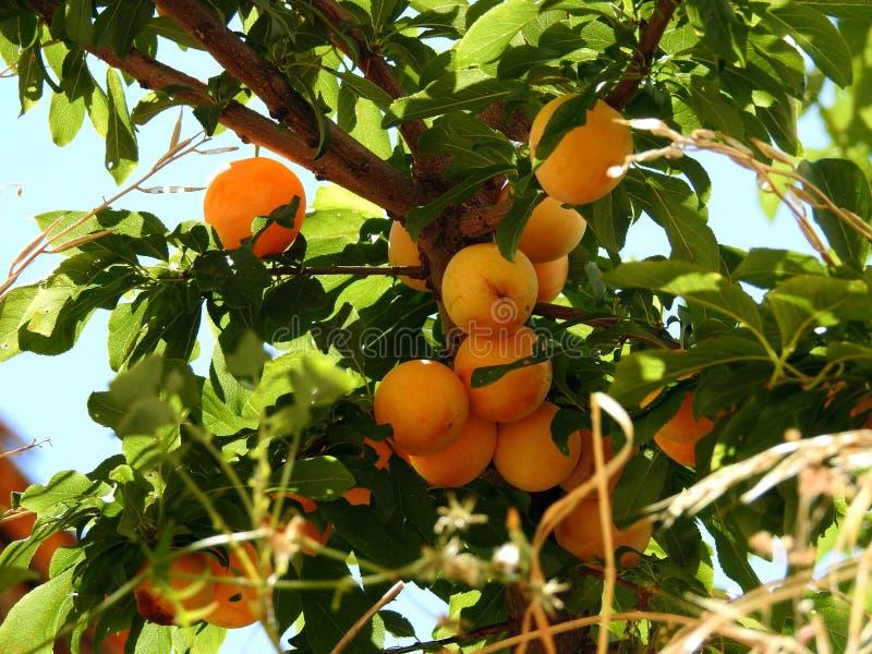 Pfirsiche auf dem Baum, ohne auszuwählen stockfotos