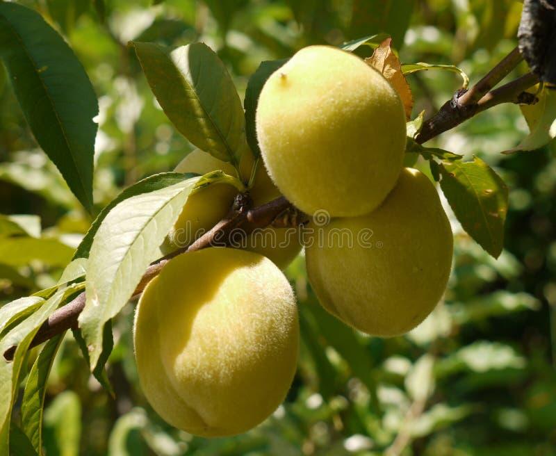 Pfirsiche auf einem Baum lizenzfreies stockbild