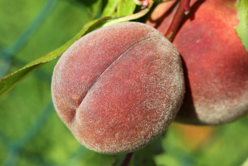 Pfirsiche auf einem peachtree lizenzfreie stockfotos