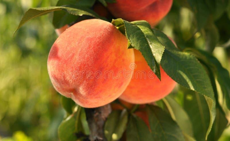Pfirsiche mit Blättern auf einem Baum stockfotos