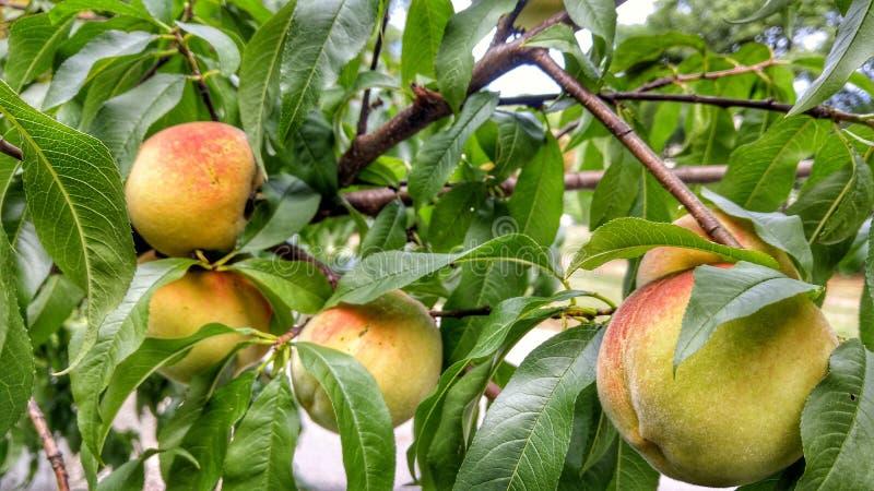 Pfirsiche zwischen den Blättern lizenzfreie stockbilder