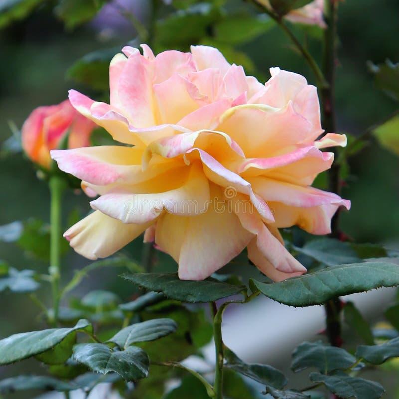 Pfirsichfarbenes Rosa stockbild