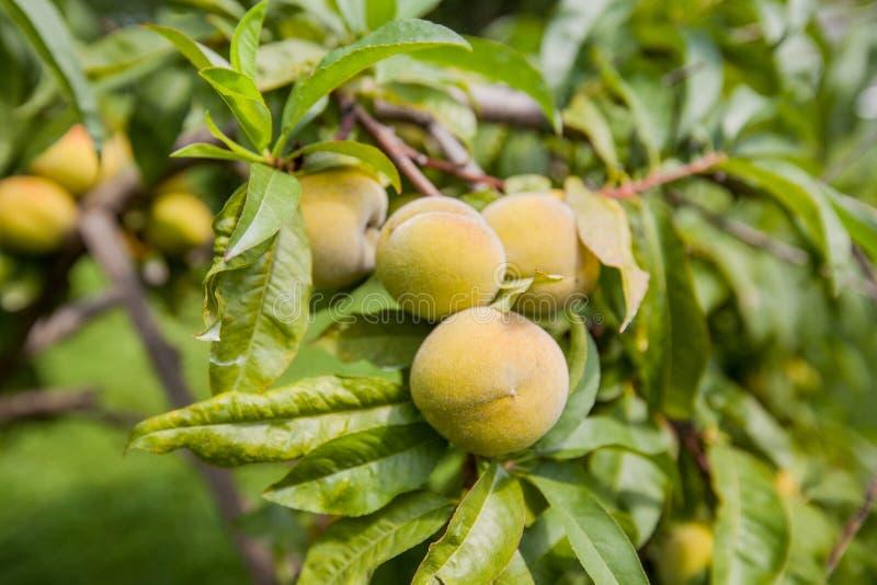Pfirsichfrucht auf Baum stockbild