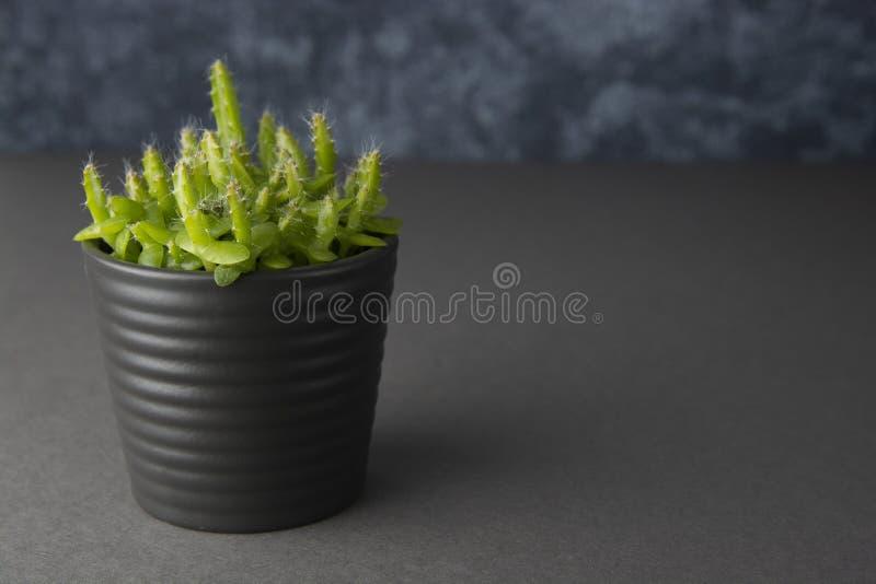 Pfl?nzchen in den Topfsucculents oder -kaktus lokalisiert auf dem grauen Hintergrund lokalisiert Gesch?fts- oder Ausbildungsschab lizenzfreie stockfotografie