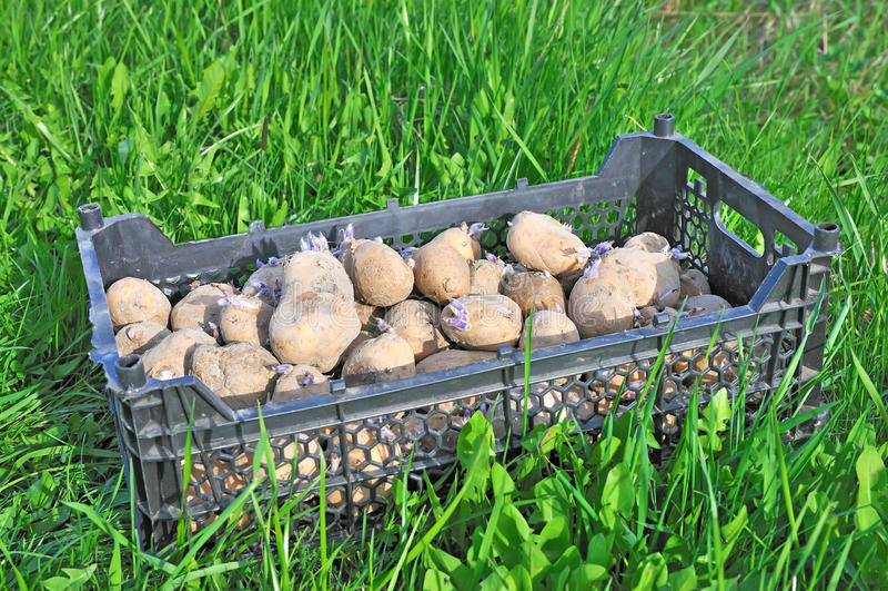 Pflanzen der Kartoffeln. stockfoto