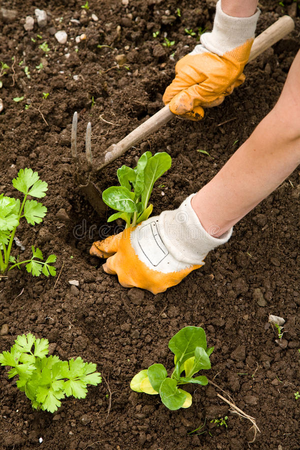 Pflanzen des Gemüses stockfoto